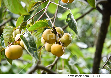 Taiwan autumn persimmon tree and delicious persimmon fruit 45418876