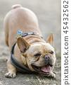 portrait, french, bulldog 45432562