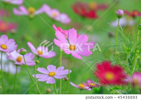 大波斯菊,大波斯菊田地,花園 45438893