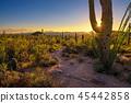 Sunset in Saguaro National Park in Arizona 45442858