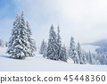 Spruce forest in the snow 45448360