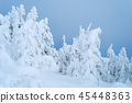 Firs in the snow on blue sky background 45448363