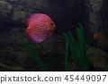 tropical fish in the river and sea water aquarium fishing 45449097