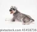 สุนัข,สุนัช,สัตว์ 45458736