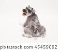 สุนัข,สุนัช,สัตว์ 45459092