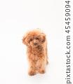 ทอยพุดเดิล,สุนัข,สุนัช 45459094