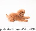 ทอยพุดเดิล,สุนัข,สุนัช 45459096