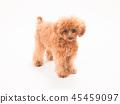 ทอยพุดเดิล,สุนัข,สุนัช 45459097