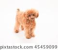 ทอยพุดเดิล,สุนัข,สุนัช 45459099