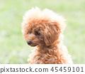 ทอยพุดเดิล,สุนัข,สุนัช 45459101