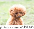 ทอยพุดเดิล,สุนัข,สุนัช 45459103