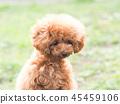 ทอยพุดเดิล,สุนัข,สุนัช 45459106