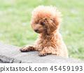 ทอยพุดเดิล,สุนัข,สุนัช 45459193