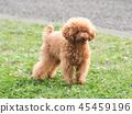 ทอยพุดเดิล,สุนัข,สุนัช 45459196