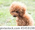 ทอยพุดเดิล,สุนัข,สุนัช 45459198