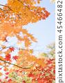 楓樹 紅楓 楓葉 45466482