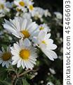 소국, 꽃, 플라워 45466693