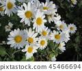 소국, 꽃, 플라워 45466694