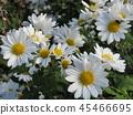 소국, 꽃, 플라워 45466695