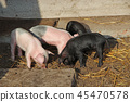 Piglets playing and jolly run in farm yard 45470578