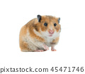 Syrian hamster isolated 45471746