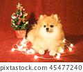 พอเมอเรเนียน,สุนัข,สุนัช 45477240