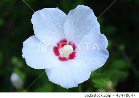 白花 45478047