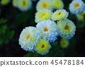 White chrysanthemum 45478184
