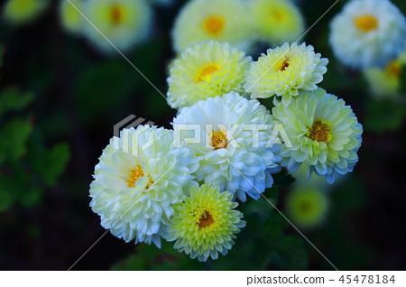 白菊花 45478184
