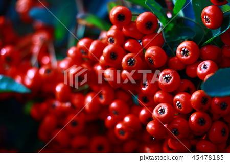 烏鴉莓果 45478185