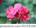 Red open flower 45478188