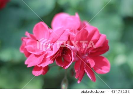 紅色開放花 45478188