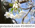 cherry blossom, cherry tree, spring 45480654
