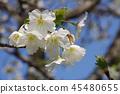 cherry blossom, cherry tree, spring 45480655