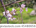 cherry blossom, cherry tree, weeping cherry tree 45480656