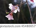 cherry blossom, cherry tree, weeping cherry tree 45480657