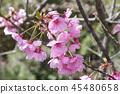 cherry blossom, cherry tree, spring 45480658