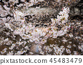 目黑区河 樱花 樱桃树 45483479