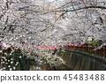 目黑区河 樱花 樱桃树 45483488