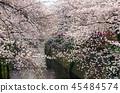 目黑区河 樱花 樱桃树 45484574