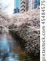 目黑区河 樱花 樱桃树 45484575
