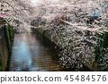 目黑区河 樱花 樱桃树 45484576