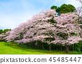 和泉自然公园 樱花 樱桃树 45485447