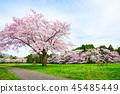和泉自然公园 樱花 樱桃树 45485449