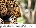 leopard:Panthera pardus ,in the zoo 45487513
