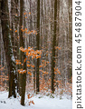 winter forest with some fall foliage in snow 45487904