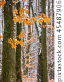 winter forest with some fall foliage in snow 45487906