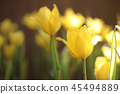 Yellow tulip in close up 45494889
