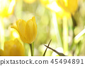 Yellow tulip in close up 45494891