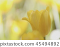 Yellow tulip in close up 45494892